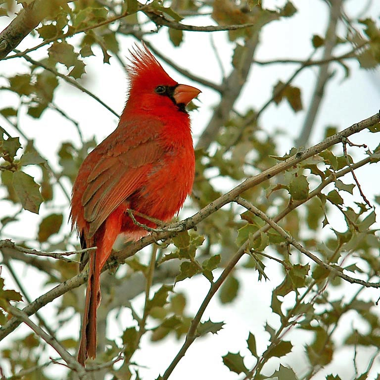 The northern cardinal has a relatively low frequency song and delayed breeding in response to noise pollution, according to a new landmark Cal Poly study